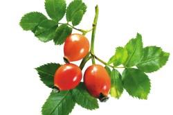 Польза плодов шиповника при цистите