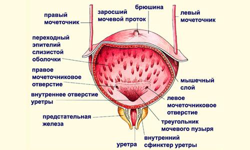 Строение мочевого пузыря