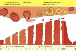 Стадии менструального цикла женщины