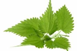Листья крапивы для лечения цистита