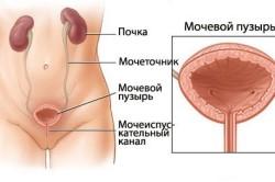 Формирование и развитие мочевого пузыря